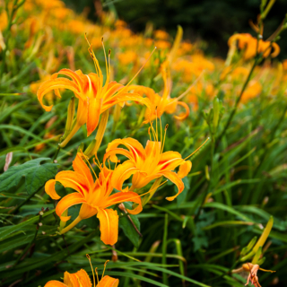 Daylily Flowers at Sixty Stone Mountain (Liushidan Mountain), Taiwan